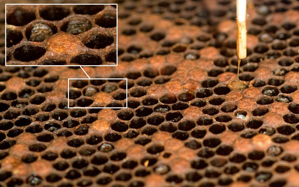 Инфекционные и вирусные болезни пчел — признаки и лечение