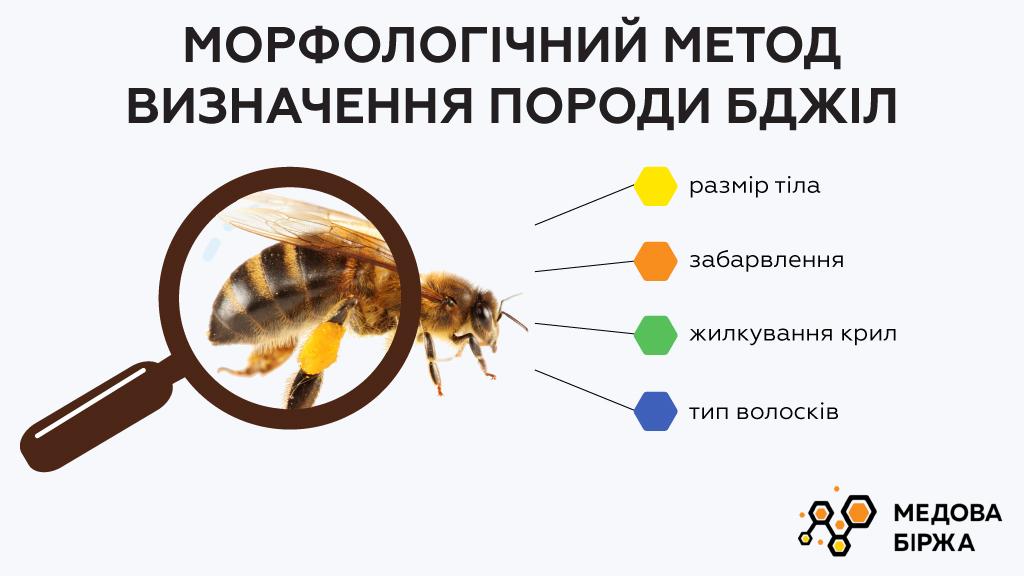 Морфологический метод определения породы пчел