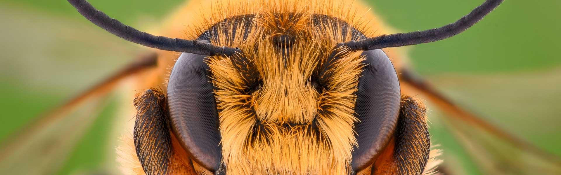 Виды пчел и методы определения породы