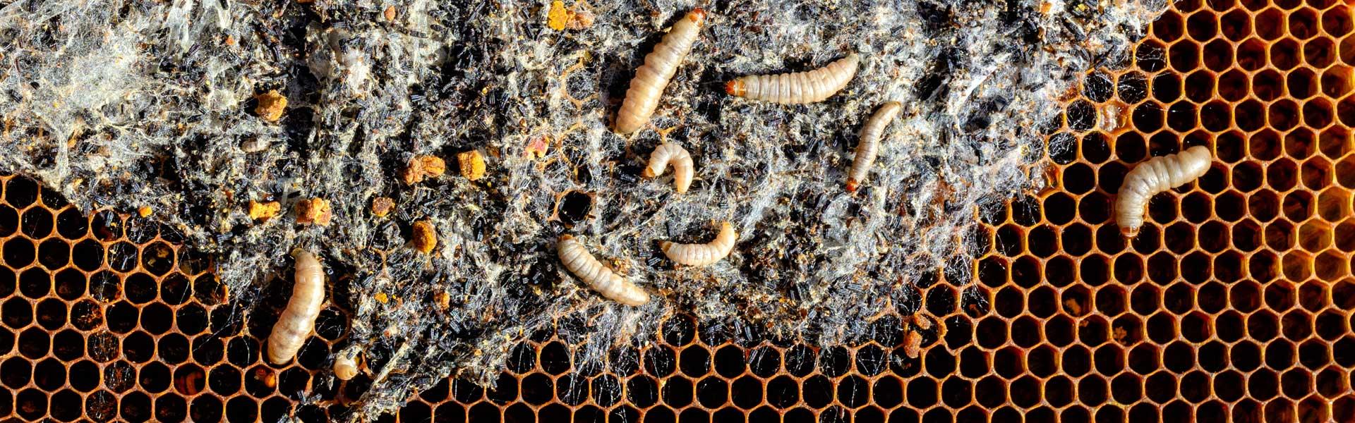 Профилактика пчел от заболеваний