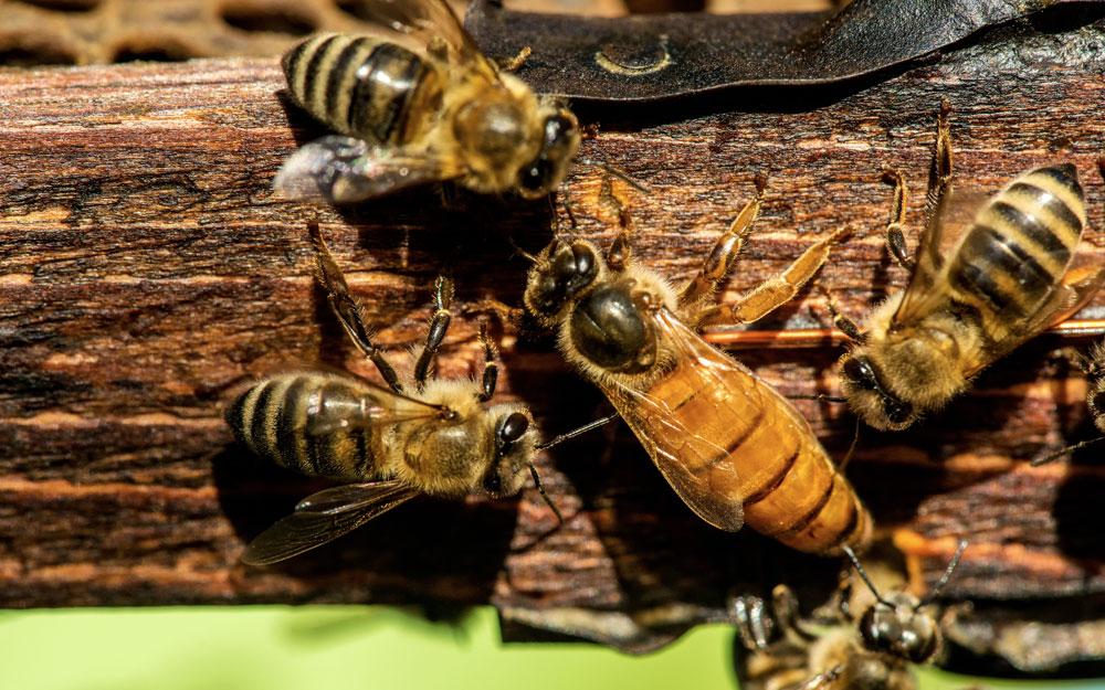 Кто такая пчелиная матка?