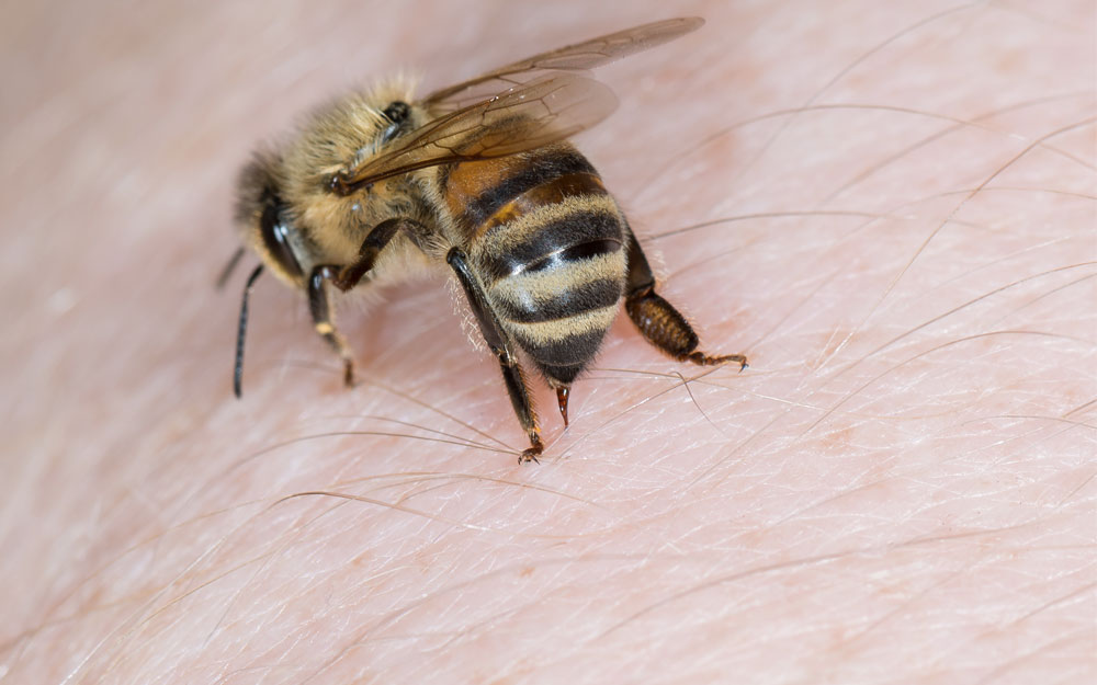 Что такое пчелиный яд?