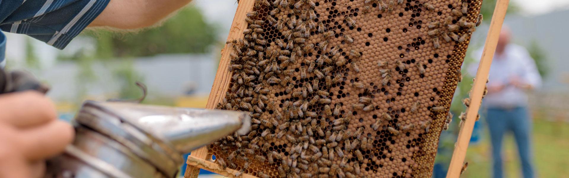 Лечение пчел от паразитов — что делать?