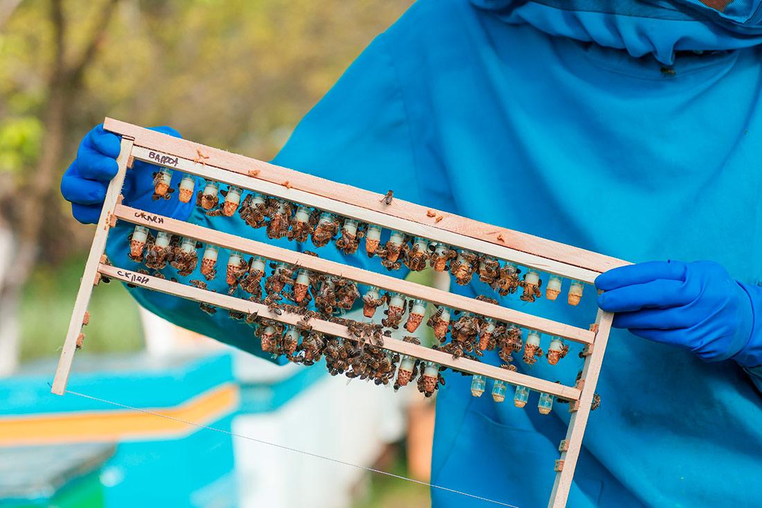 Разведение пчелиных маток