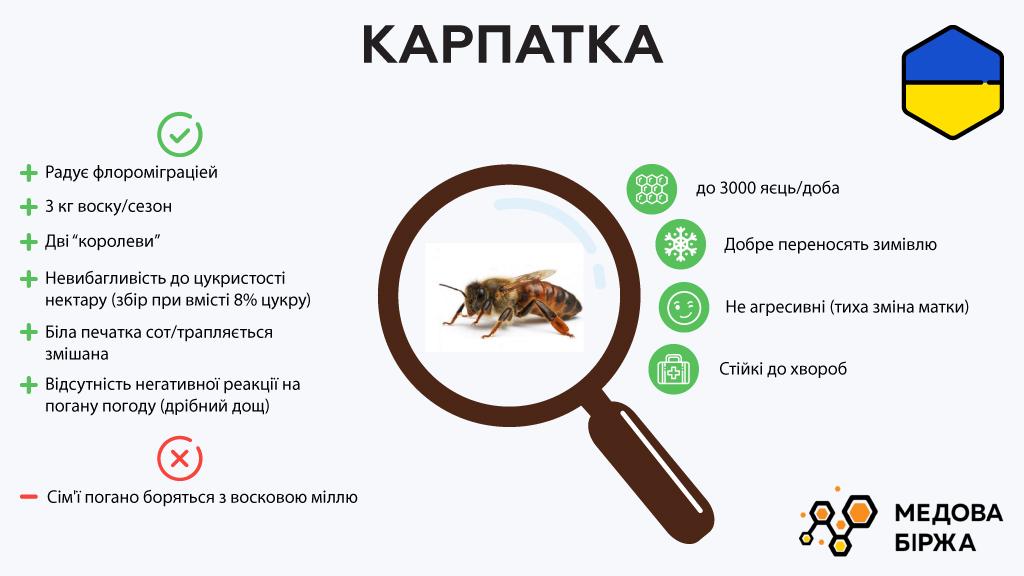 Описание пчелы — Карпатка
