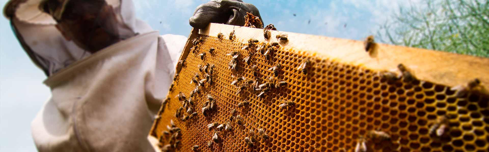 ТОП-5 пород пчел — преимущества и недостатки