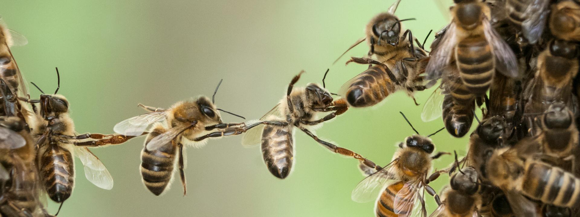 Пчёлы-воровки — как поймать и избавиться от напада