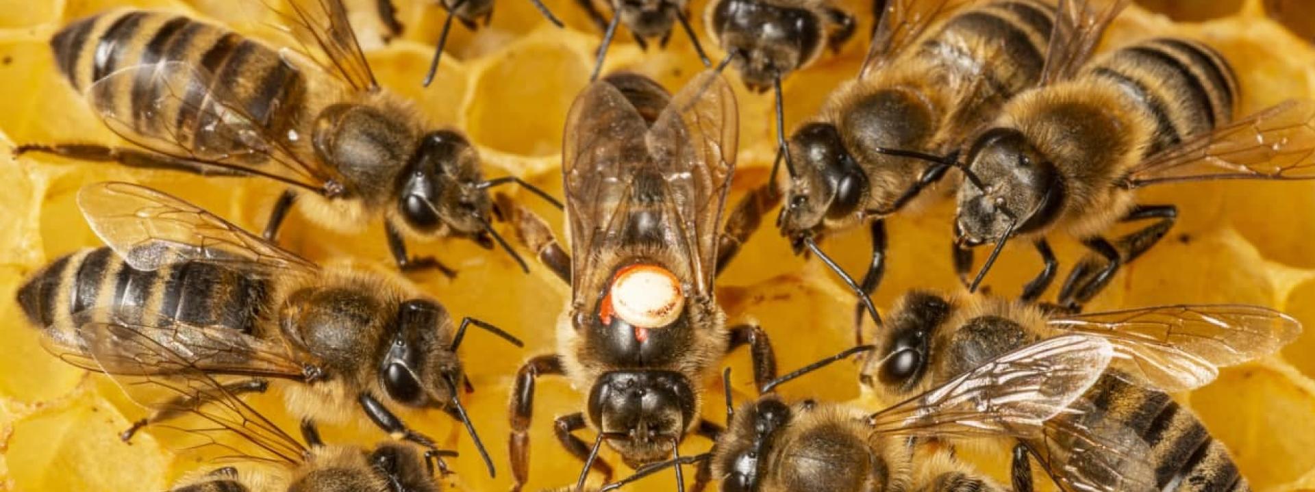 Вывод пчелиной матки – методы улучшения пчеломаток
