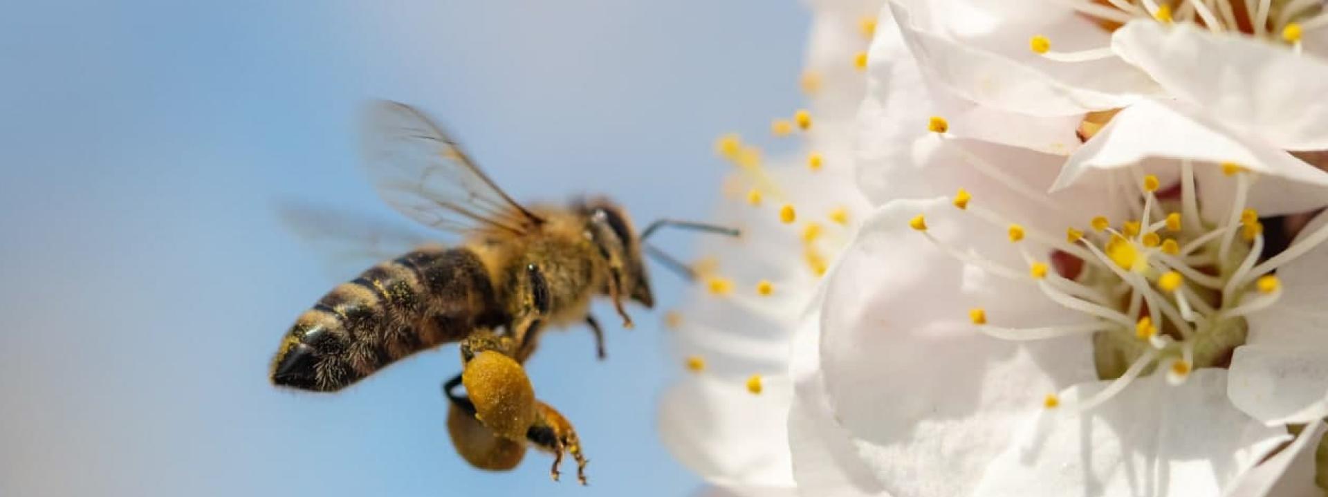 Как увеличить продолжительность жизни пчёл –советы по долголетию